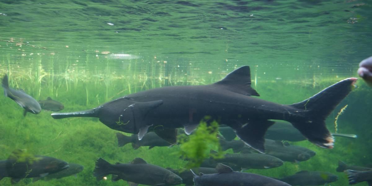 Mientras intentaban cuidar un pez en peligro de extinción, científicos crearon accidentalmente una nueva especie