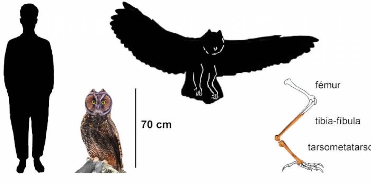 Fósil de lechuza gigante carnívora que vivió hace 40.000 años fue encontrado en Ecuador