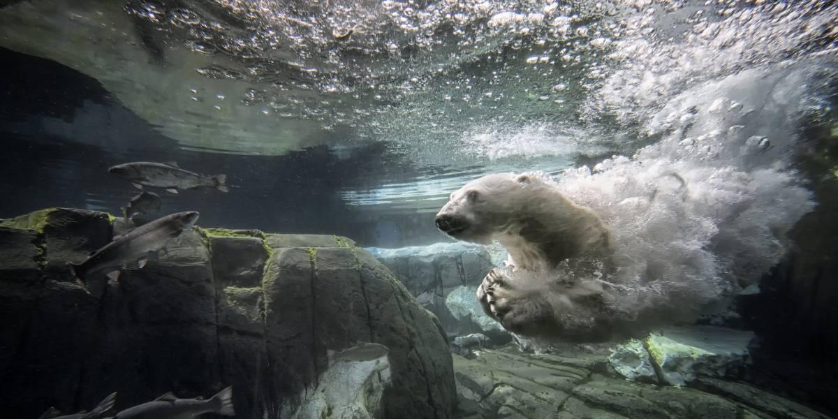 Horror: aseguran que los osos polares se extinguirán antes del fin de siglo
