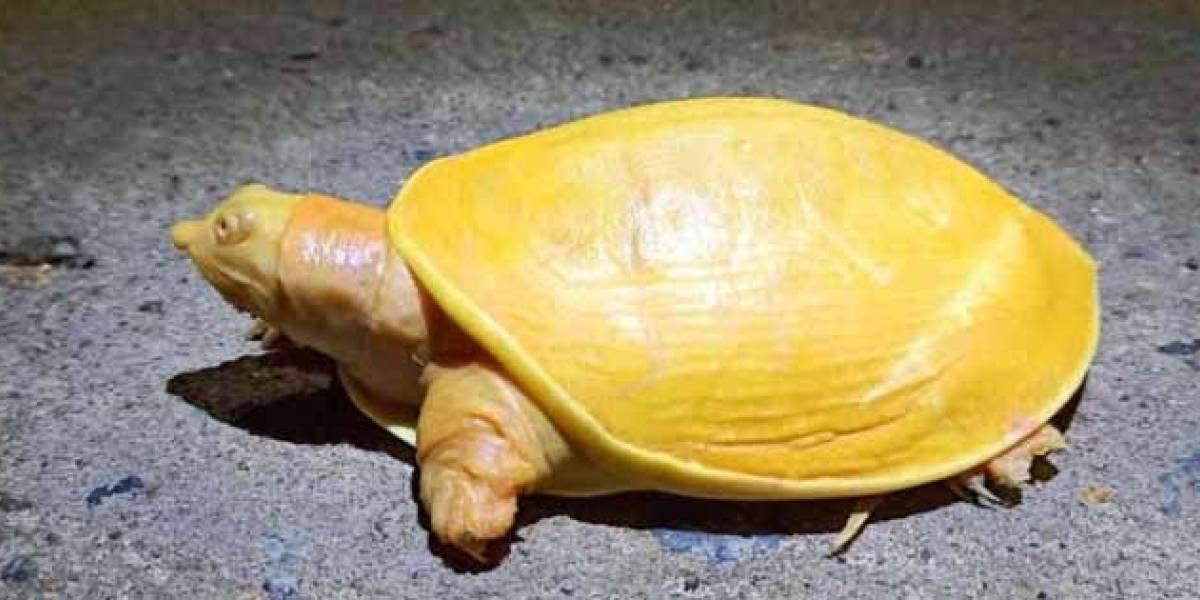 Increíble: encuentran una tortuga totalmente amarilla y con los ojos rosados