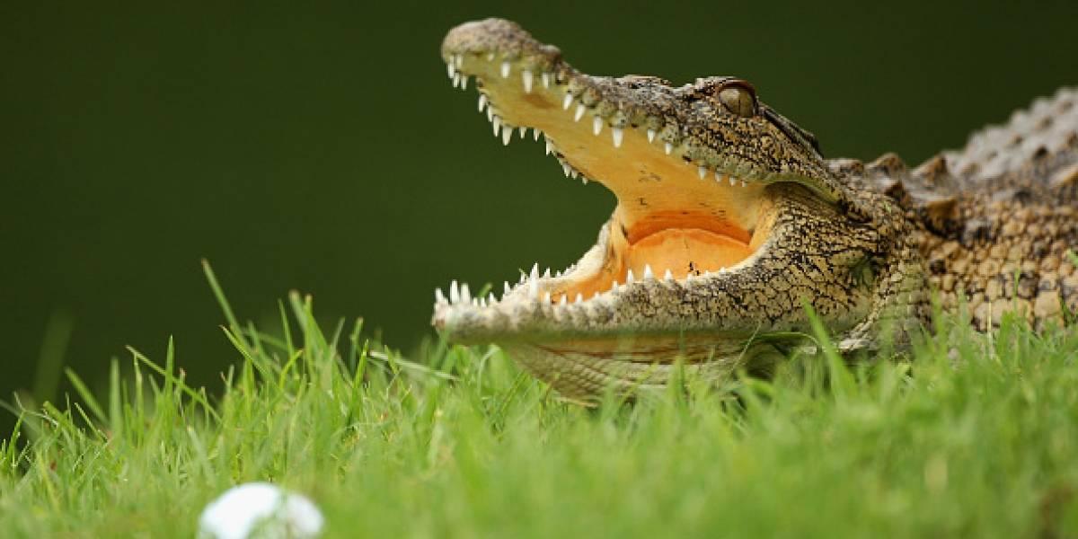 Se le cayó la billetera entre los cocodrilos, ¡y metió la mano!