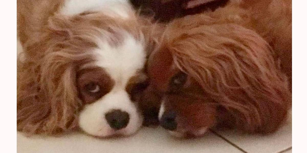 Cachorro morre de tristeza após perder seu melhor amigo