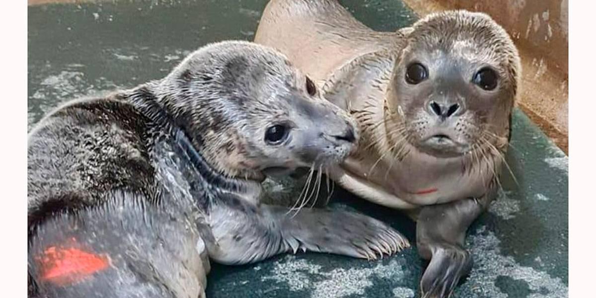 Bebês focas ficam órfãos quando são perseguidos por banhistas