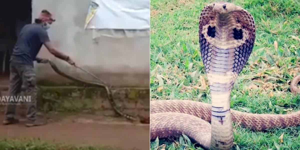 Vídeo mostra manobra delicada para capturar e soltar cobra-rei; uma única mordida pode matar até 20 pessoas