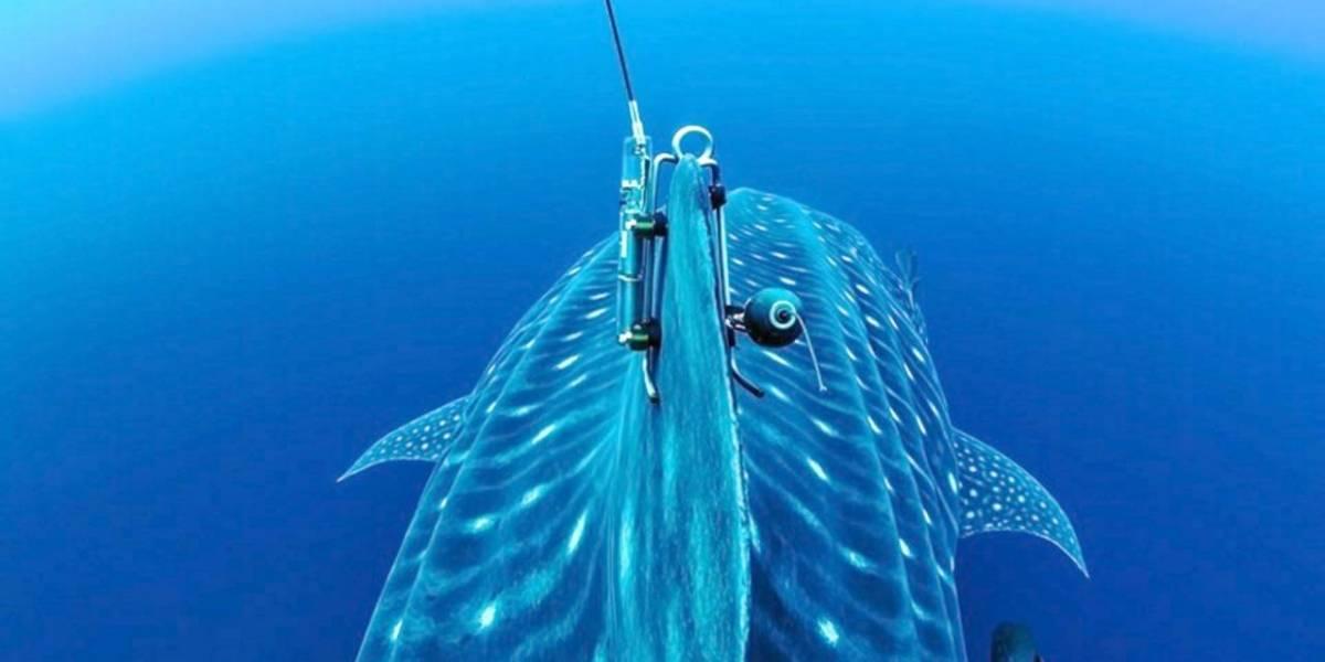 Esperanza, tiburón ballena dejó de transmitir su ubicación en GalápagoS desde mayo