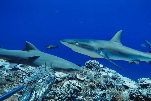 Tiburones de Arrecife