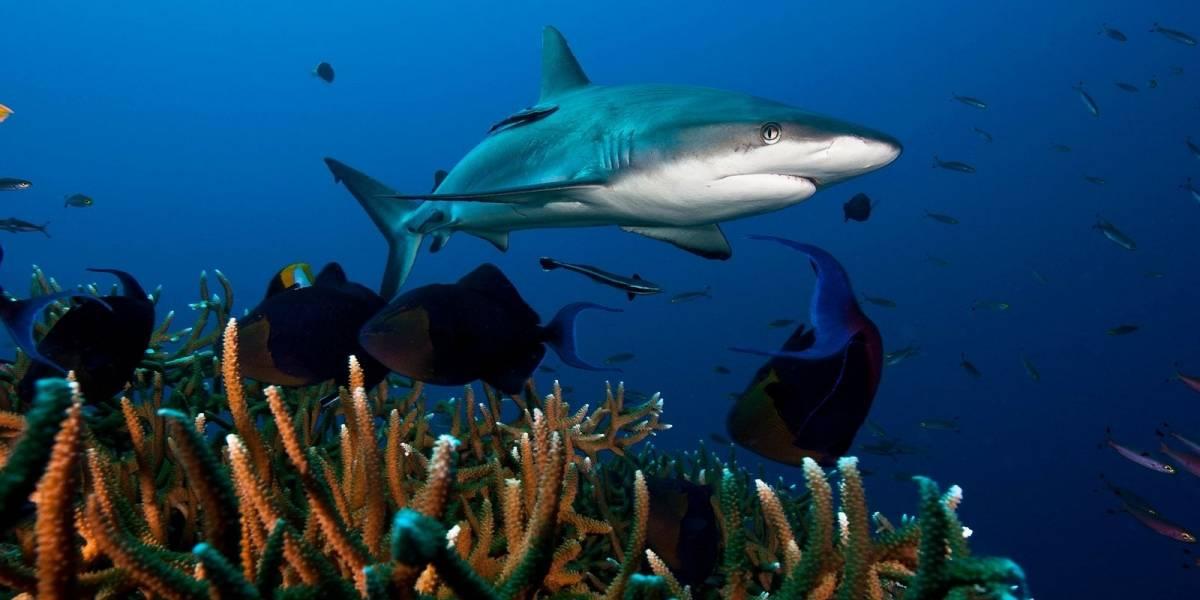 Una especie de tiburones están extintos en uno de cada cinco arrecifes de coral