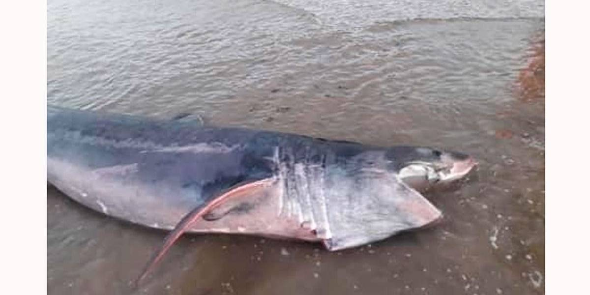 Tubarão de 5 metros encalha na costa da Inglaterra