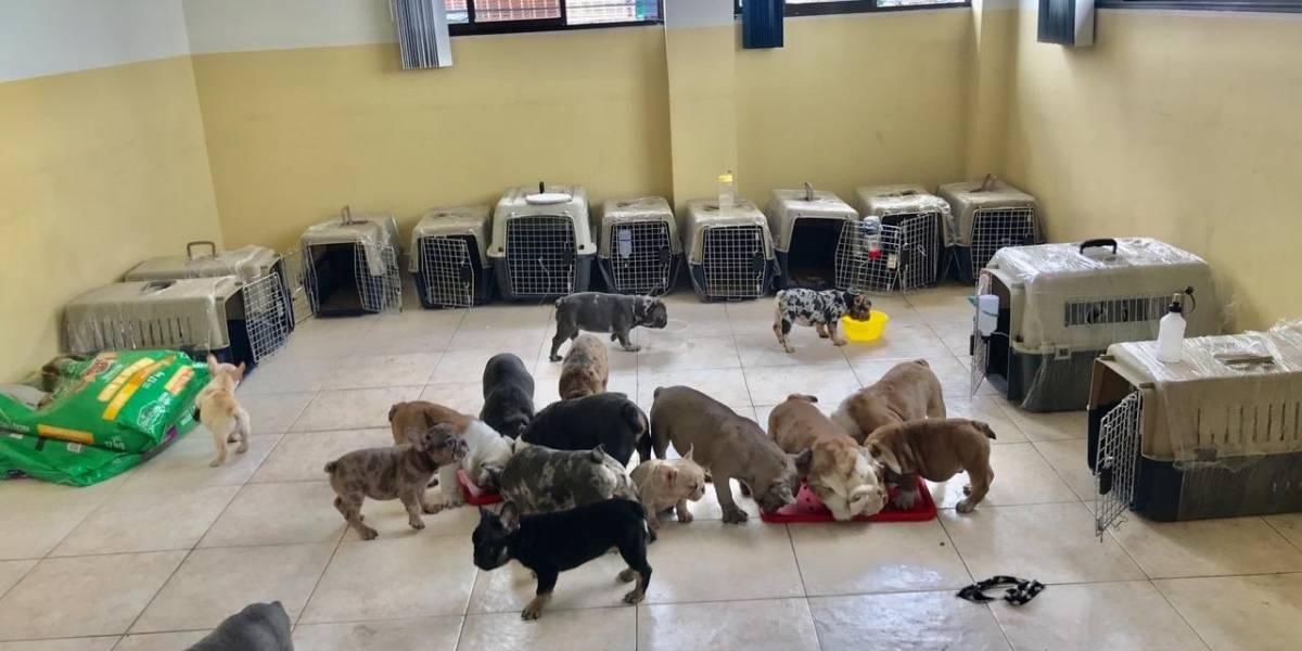 Rescatan a 19 cachorros Bulldog en la frontera con Colombia
