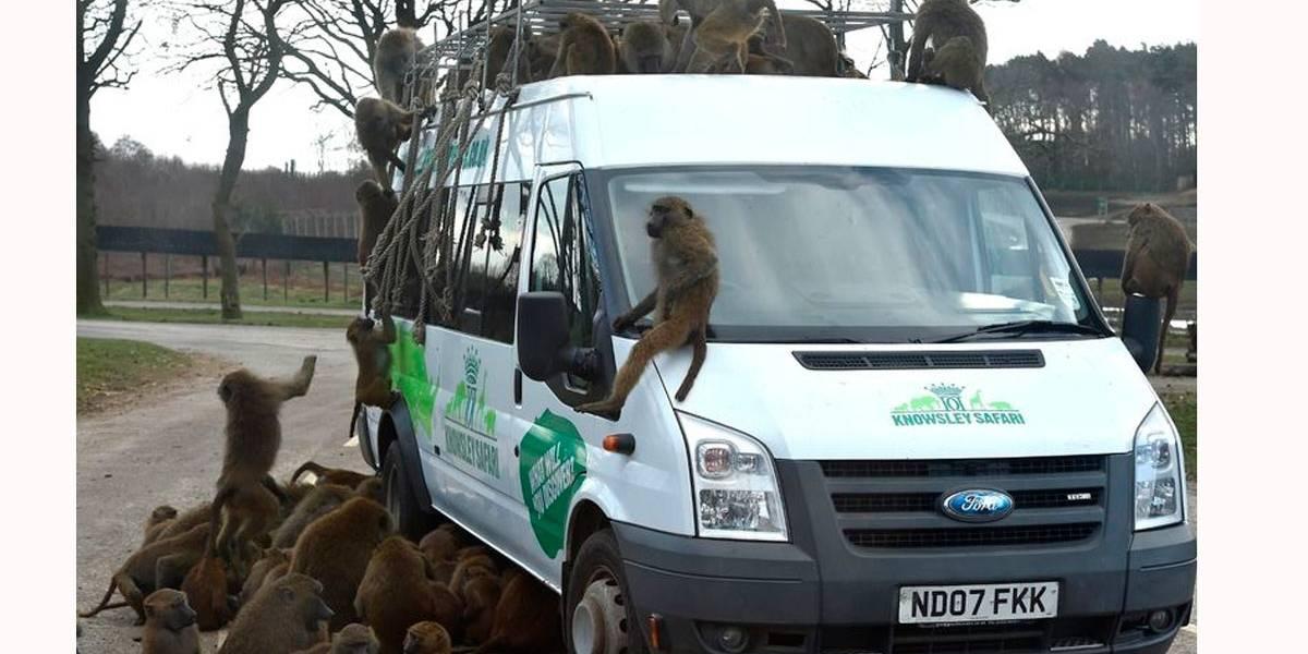 Visitantes dizem que babuínos atacam carros com facas e chaves de fenda