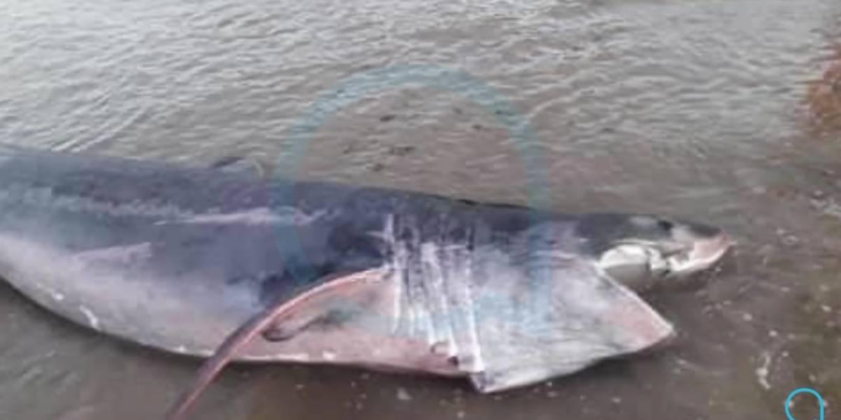 Tubarão é encontrado vivo em praia depois de ficar encalhado e assusta moradores