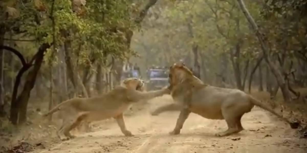 Vídeo que mostra leoa enfrentando leão faz sucesso no Twitter