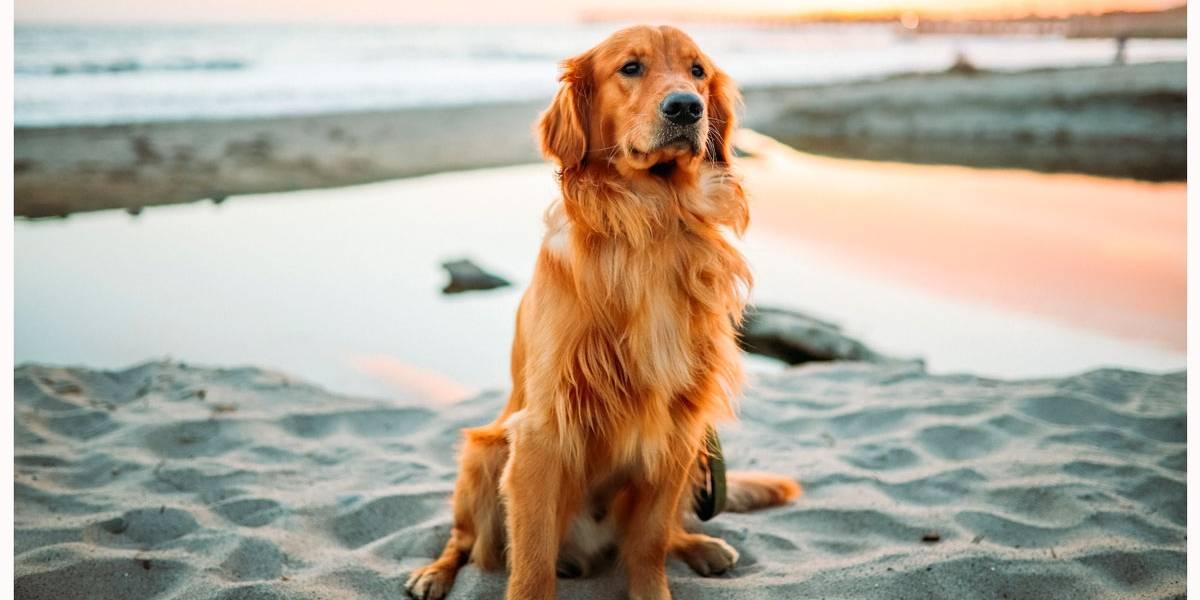 5 características marcantes de cães da raça Golden Retriever