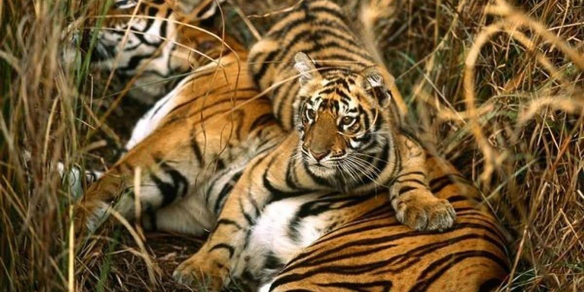 La población de tigres de bengala sufrió una modificación positiva durante los últimos 10 años