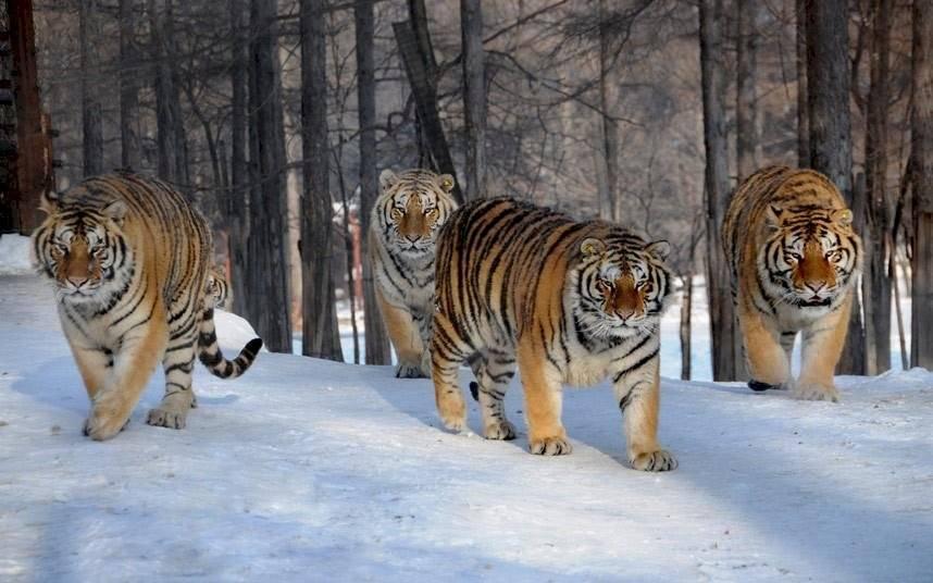 Tigres de Bengala manada