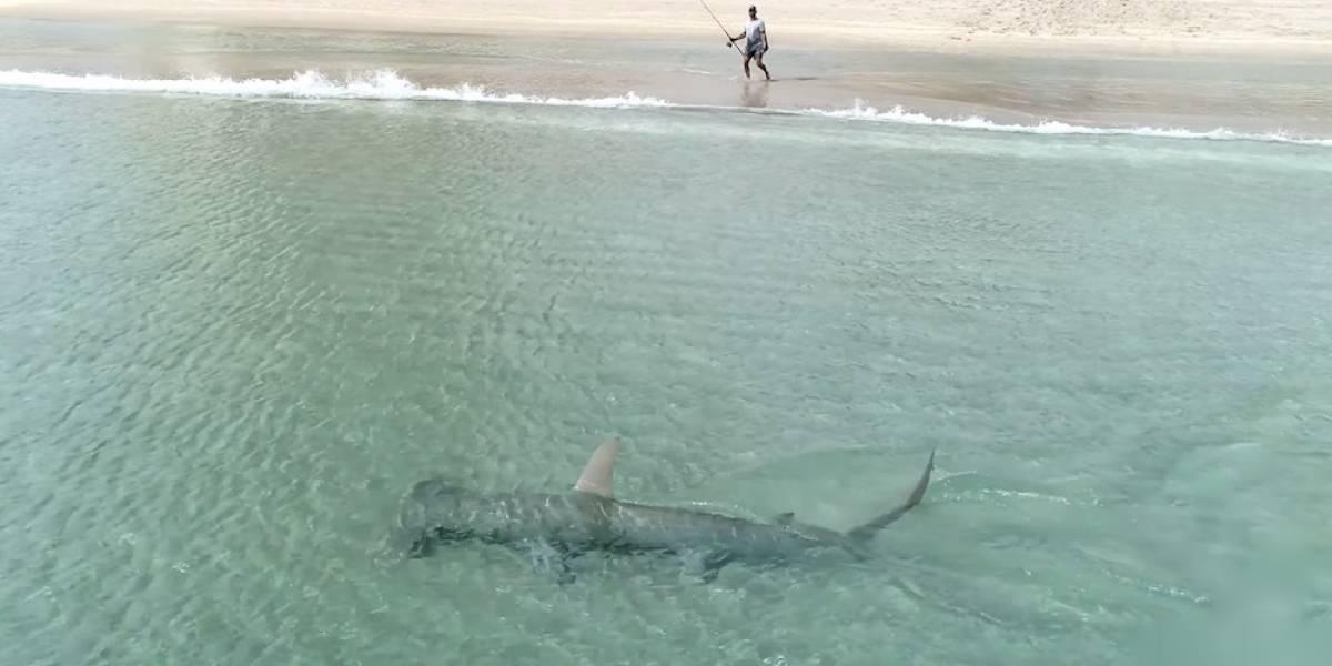 Vídeo impressionante mostra tubarão-martelo 'caçando' espécie menor