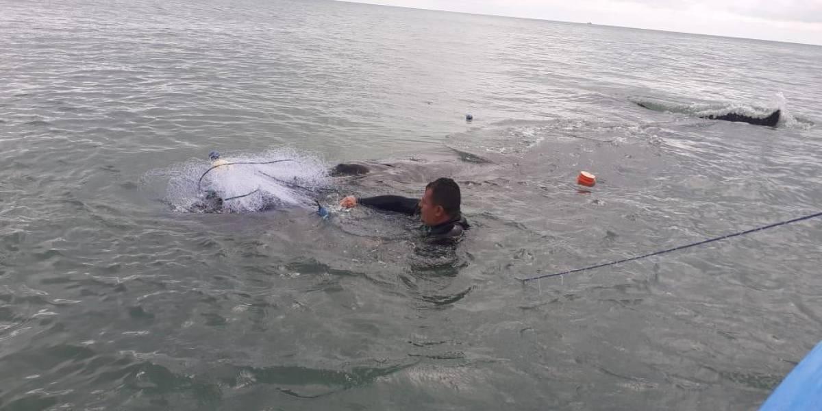 Rescatan a ballena jorobada varada en Esmeraldas
