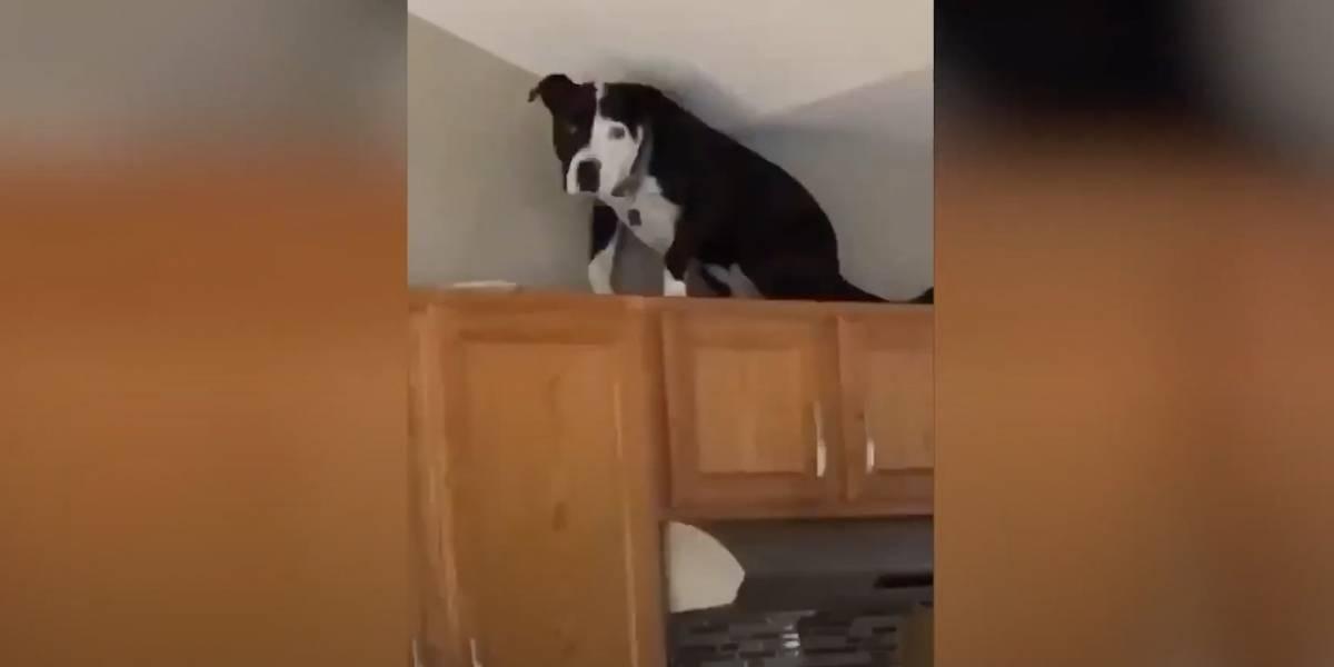 Conoce a Mako: el perro que no ladra y se comporta como un gato