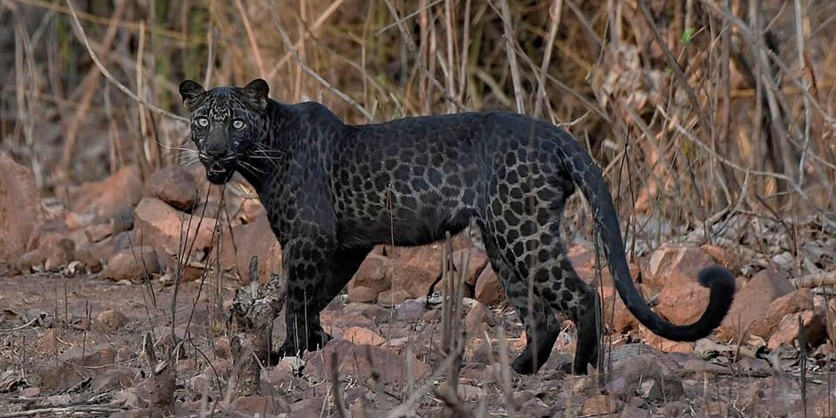 Raro leopardo negro é fotografado na Índia