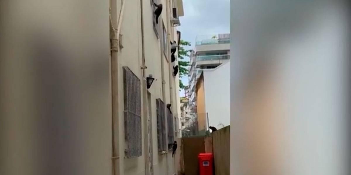 Macacos-prego fazem 'arrastão' no Rio de Janeiro