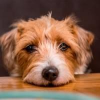 10 alimentos que seu cachorroNÃOpode comer