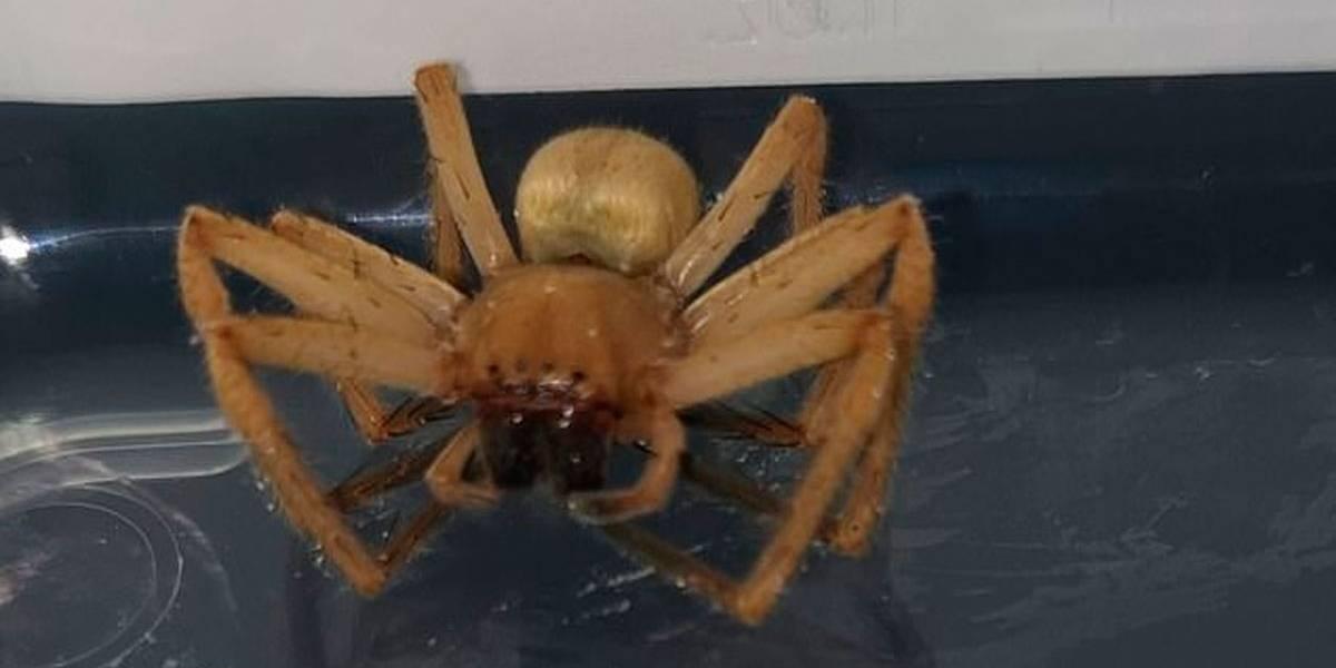 Trabalhador de supermercado encontra aranha mais venenosa do mundo em bananas