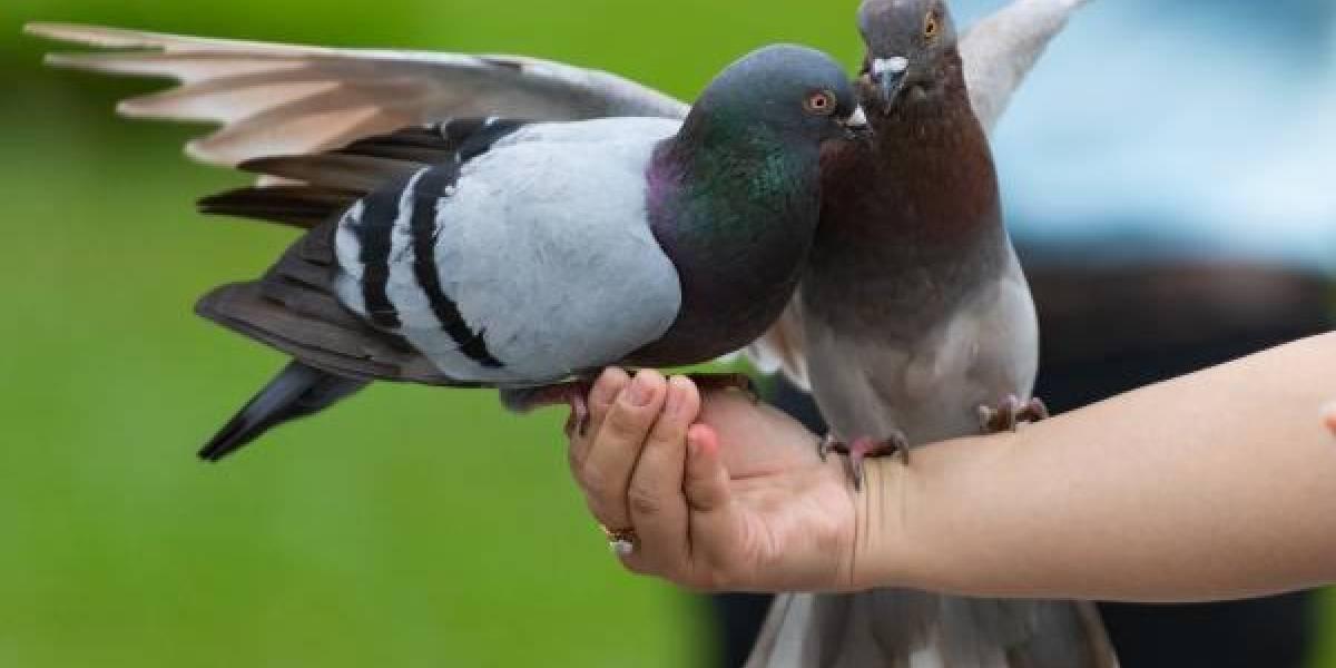 Las consecuencias que puede generar la simple acción de darle comida a las palomas en una plaza