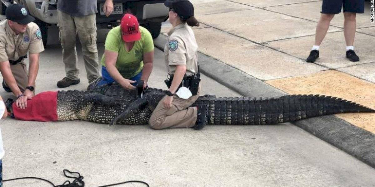 Papá superhéroe: salvó a su hija de 4 años de un caimán de 3,5 metros