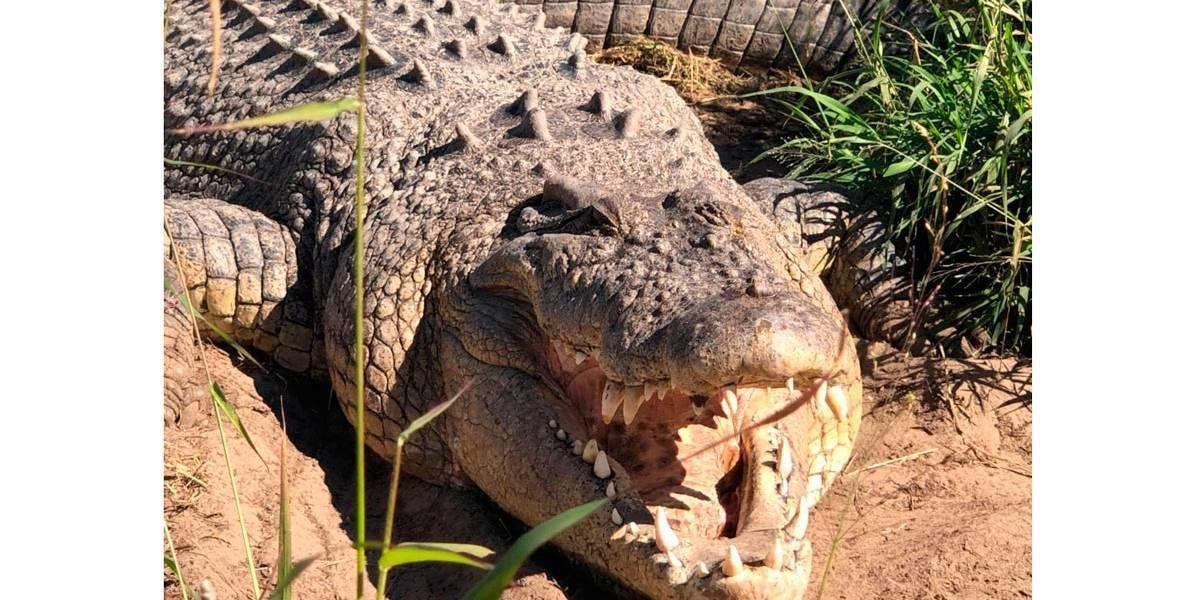 Vídeo: King Buka, um dos maiores crocodilos do mundo, morre aos 90 anos