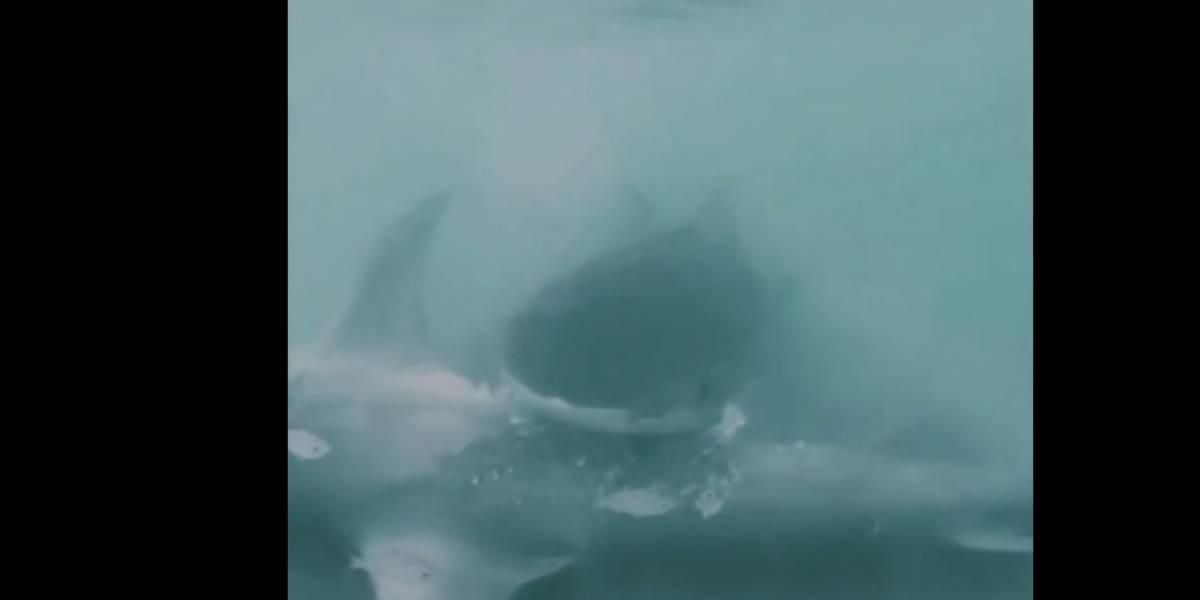 Vídeo impressionante registra tubarão atacando outro predador em praia na Flórida