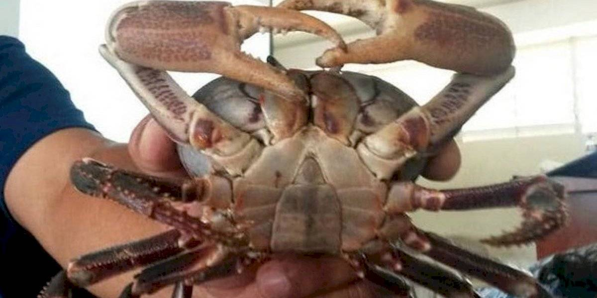 Pesca ilegal amenaza la existencia del juey común en Maunabo