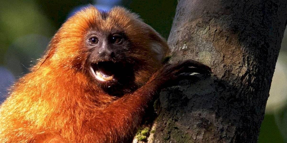 Brasil: construyen puente sobre carretera para proteger a monos en peligro de extinción