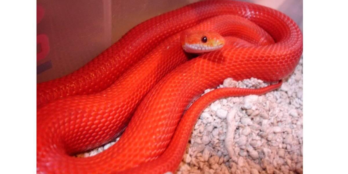 Rara cobra coral vermelha 'Kukri' é resgatada na Índia