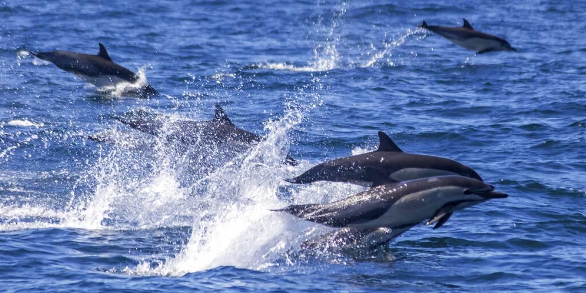 Captan una estampida de 300 delfines en el sur de California