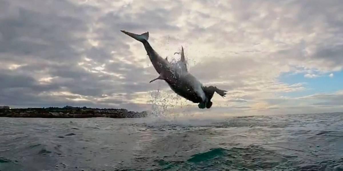 Imagem mostra tubarão branco saltando 5 metros fora da água para agarrar presa