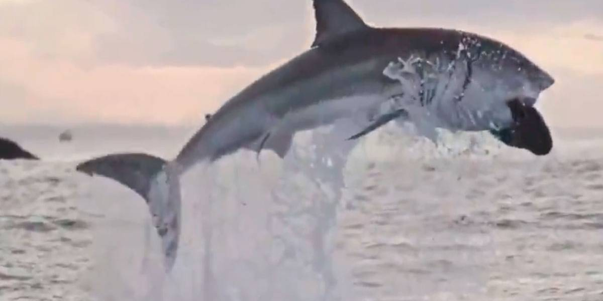 Vídeo mostra tubarão branco gigante saltando no ar com uma foca na boca