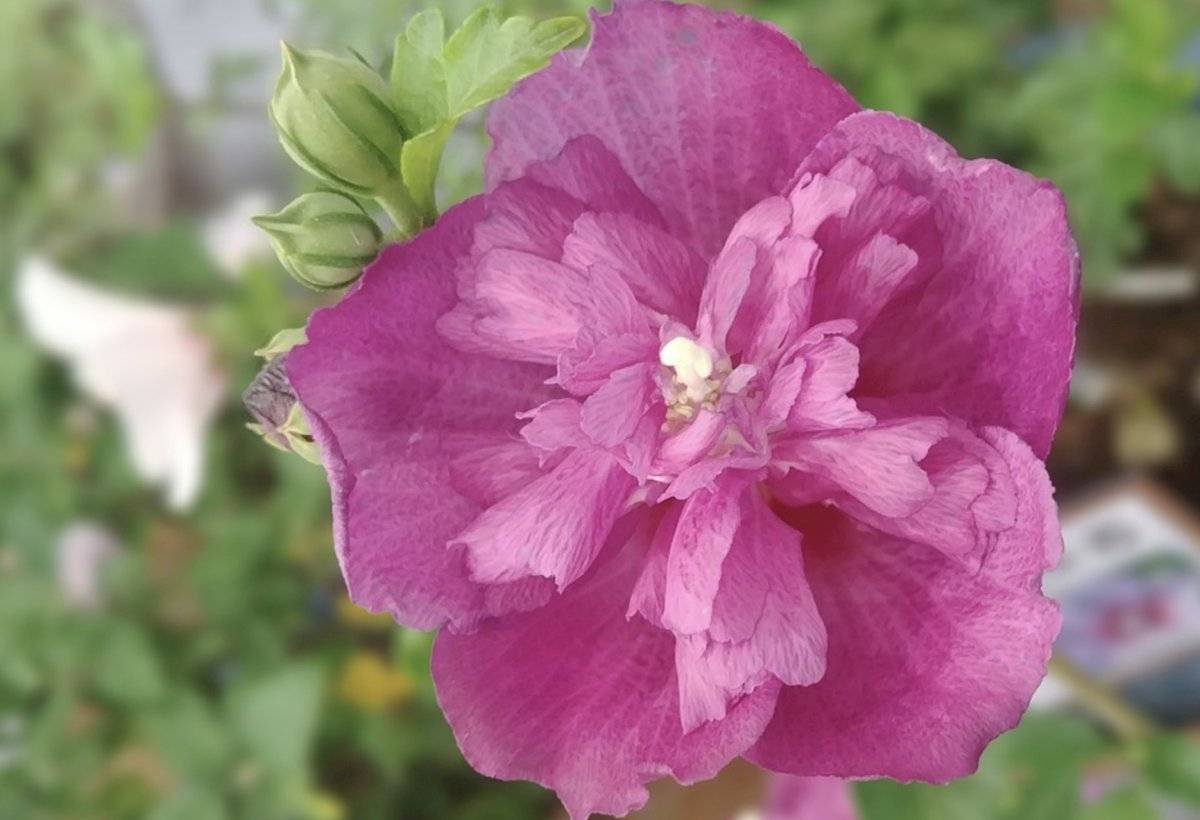 rosa de sarón