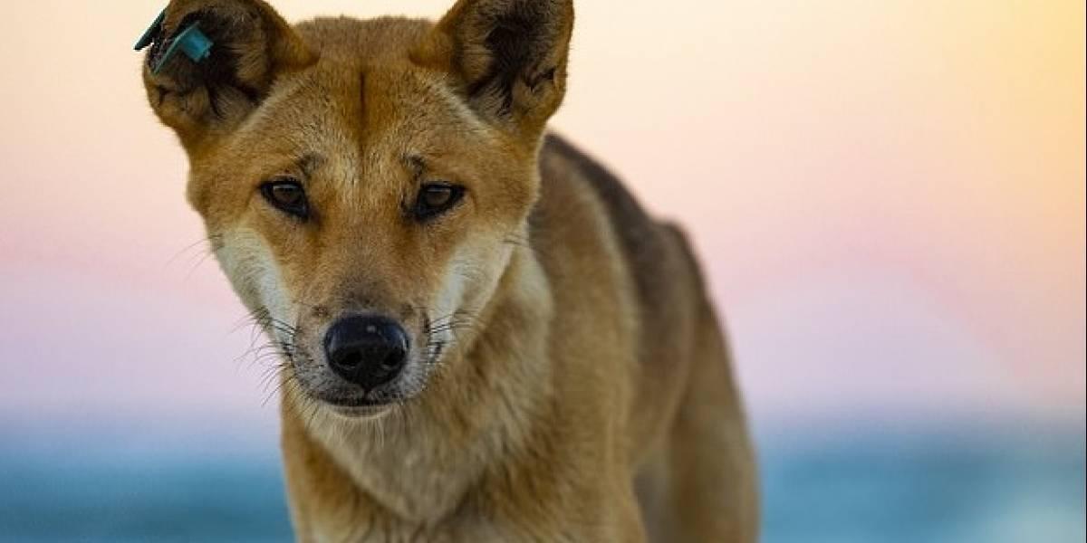 Australia: un veneno destinado a exterminar a los dingos, en realidad los hizo más grandes