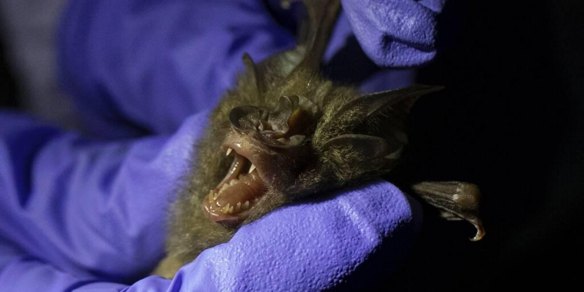 A la caza del origen del coronavirus: investigan a 200 murciélagos en Tailandia