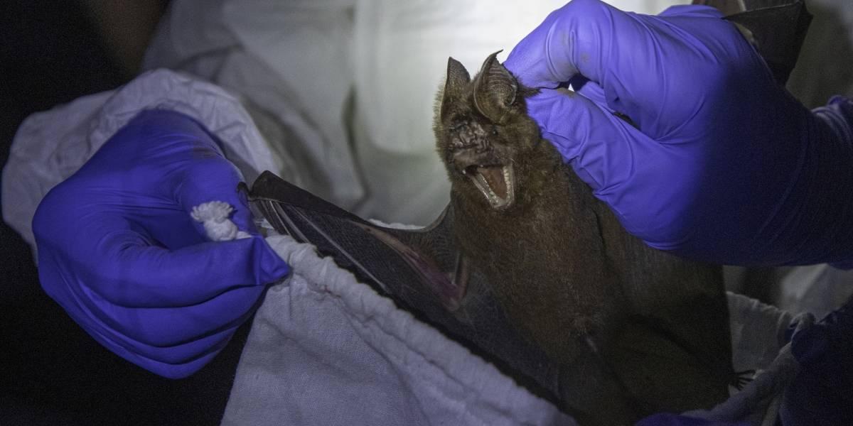 Murciélagos podrían ser la fuente del coronavirus COVID-19