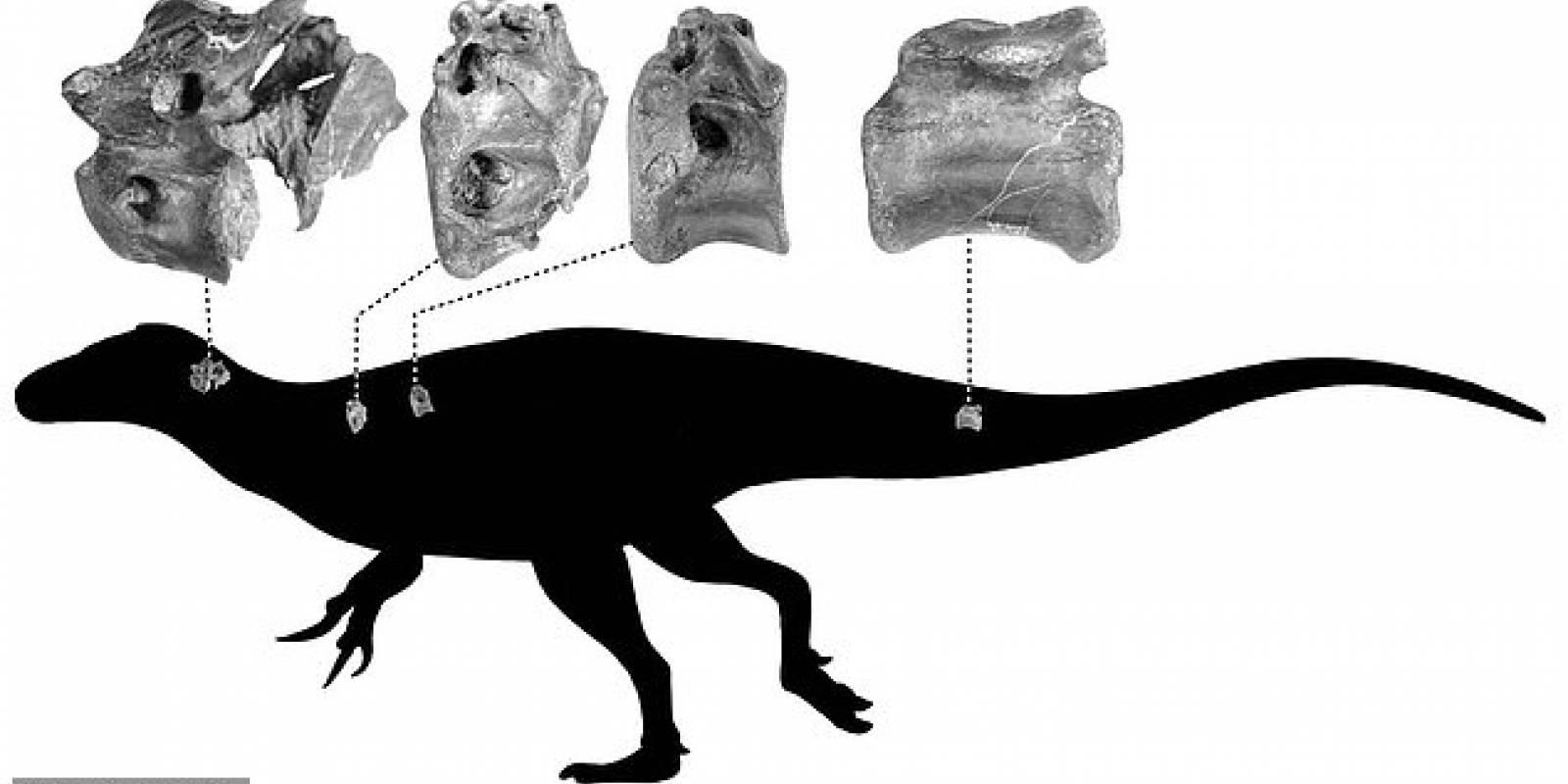 Paleontologos Britanicos Encontraron Huesos De Un Dinosaurio Pariente Del Tiranosaurio Rex El descubridor donó los fósiles hallados al museo de los dinosaurios de salas de los infantes, que en la comarca burgalesa se han documentado 180 yacimientos, con restos de huesos fósiles e. un dinosaurio pariente del tiranosaurio rex