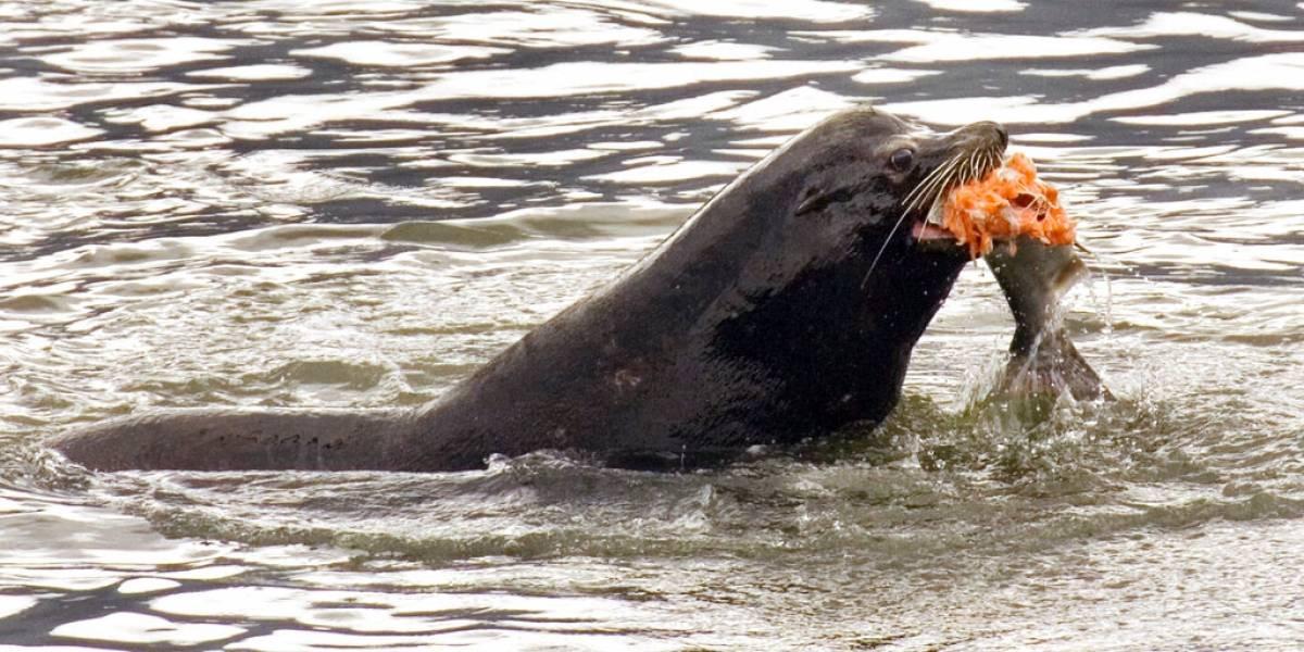 EEUU da luz verde para matar a cientos de leones marinos que se alimentan de salmones
