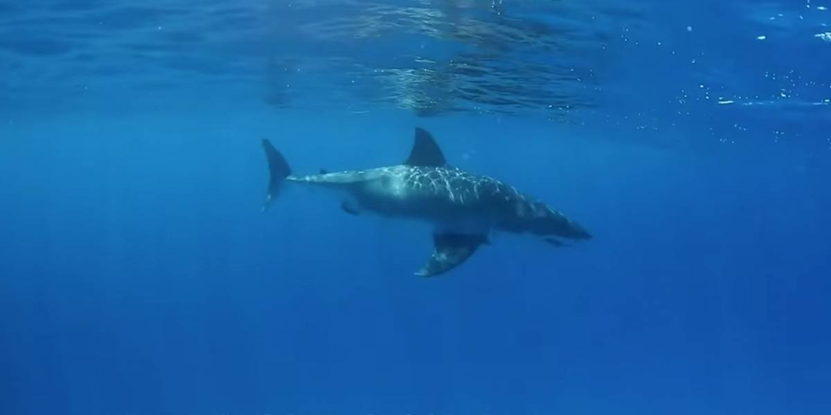 Vídeo impactante mostra grande tubarão-branco se aproximando de mergulhador em alto mar