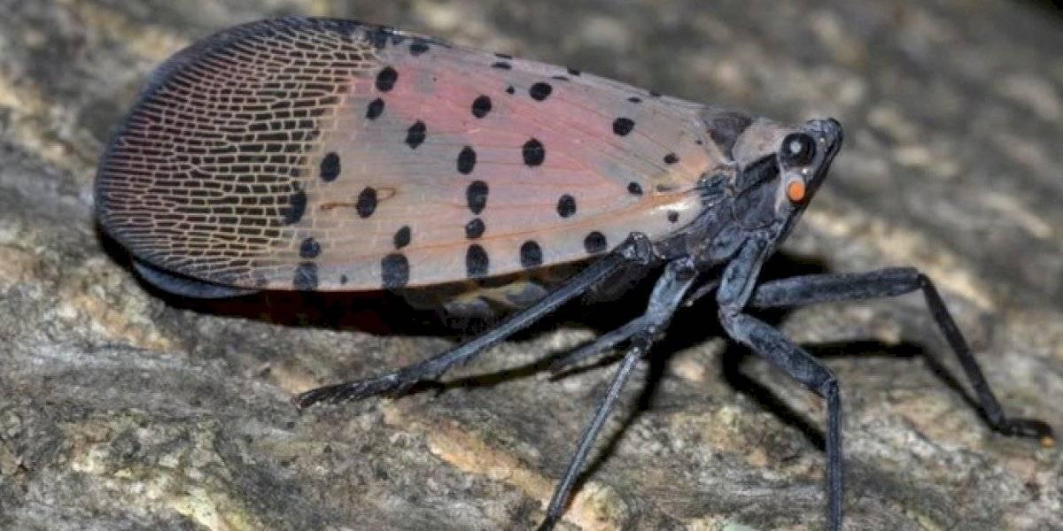 Insectos invasores provocaron cuarentena en condados de Nueva Jersey