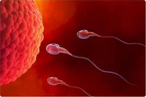 Espermatozoides ovulo