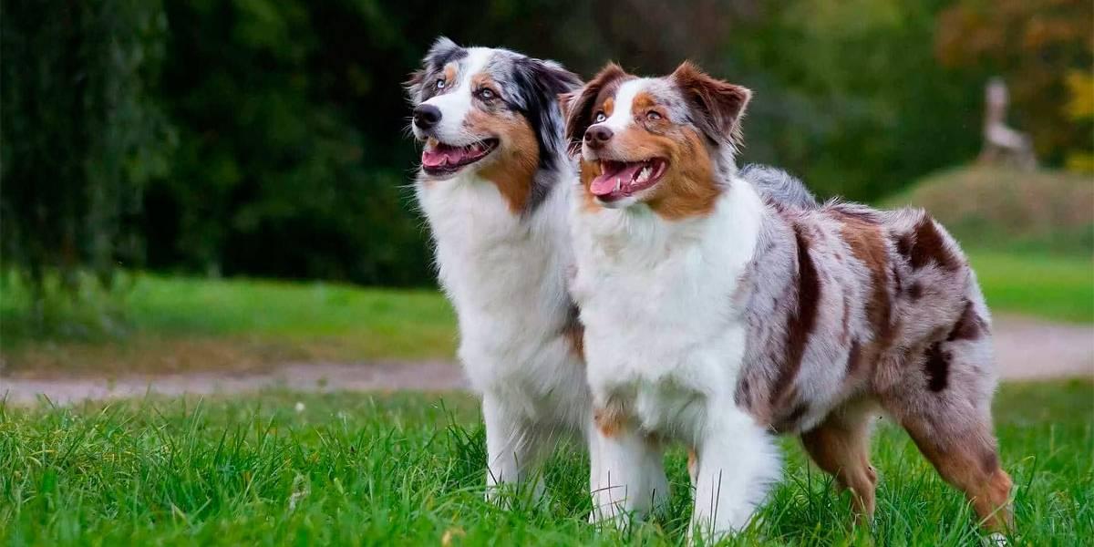 5 raças de cães esportivas