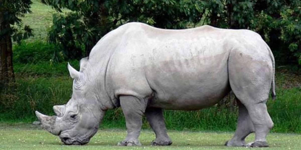 La esperanza de salvar al rinoceronte blanco recae sobre los últimos 10 óvulos extraídos las dos únicas hembras