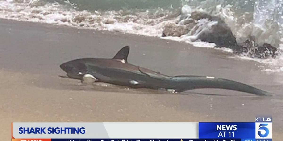 Tubarão aparece se debatendo em praia nos Estados Unidos e assusta banhistas