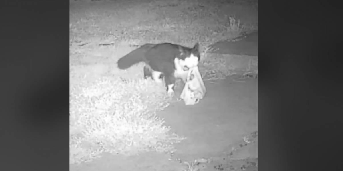 Gatito sale a robar zapatos de los vecinos en la noche y su dueño crea grupo en Facebook para hallar a los afectados