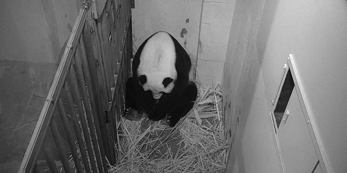 Zoológico transmite en vivo nacimiento de cachorro panda